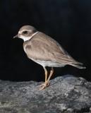 Semi-palmated Plover