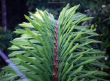 Fishtail Palm, Caryota mitis