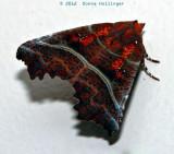 Vermont Moth