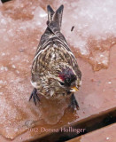 Wet Redpoll on the Deck