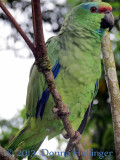 Mr. Raul The  Festive Parrot