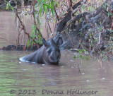 Tapir (female) takes a bath