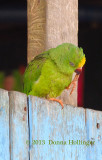 Brotogeris sanctithomae (Tui Parakeet)