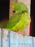 Brotogeris sanctihomae (Tui Parakeet)