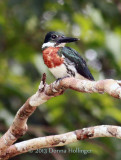 Male Amazonian Kingfisher,  Chloroceryle amazona