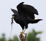 Zone Tailed Hawk With Amazonian Race Runner Lizard