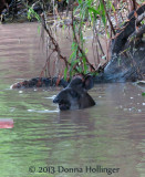 Female Tapir Bathing in theb River