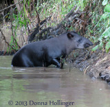 Female Tapir Emerging from the River