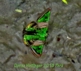 Green Mantle Butterfly Caria mantinea