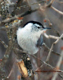 Nuthatch on my lilac