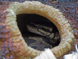 what About ME?   Ball Python in the Hole