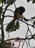 Lettered Aracari Grooming on Cecropia Tree