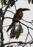 Aracari is having problems staying dry