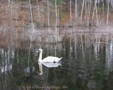 Broadmoor Swan Calling