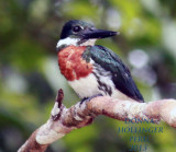 Amazonian Kingfisher