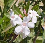 White Oleander Flower