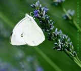 Small White (Artogei rapae)