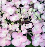 Hydrangea flowers