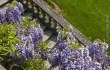 wisteria on steps