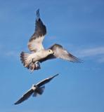 gulls fly©.jpg
