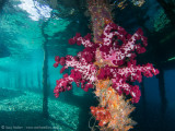 Arborek Jetty soft coral