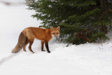 Renard roux -- _MG_0222 -- Red Fox
