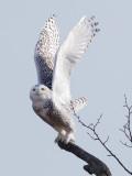 Harfang des neiges -- _Z0U8531 -- Snowy Owl