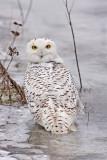 Harfang des neiges -- _Z0U0516 -- Snowy Owl