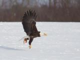 Pygargue à tête blanche -- _E5H4219 -- Bald Eagle