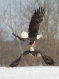Pygargue à tête blanche -- _E5H4035 -- Bald Eagle