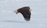 Pygargue à tête blanche -- _E5H4269 -- Bald Eagle