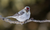 Sizerin blanchâtre -- _E5H5059 -- Hoary Redpoll