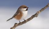 Mésange à tête brune -- _E5H5338 -- Boreal Chickadee