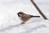 Mésange à tête brune -- Boreal Chickadee -- _E5H5400