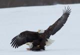 Pygargue à tête blanche -- _E5H5980 -- Bald Eagle