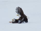 Pygargue à tête blanche -- _E5H5982 -- Bald Eagle