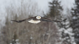 Pygargue à tête blanche --- Bald Eagle --- _E5H7051