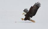 Pygargue à tête blanche -- _E5H7837 -- Bald Eagle