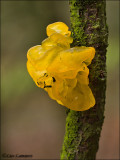 Yellow brain fungus - Gele Trilzwam_MG_1693