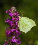 Brimstone - Citroenvlinder_MG_9912