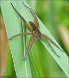 Raft Spider - Gerande oeverspin 3880