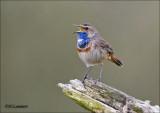 Bluethroat - Blauwborst -Luscinia svecica  (Scroll)