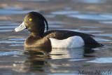 Tufted Duck (Moretta)