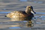 Tufted-Duck (Moretta)