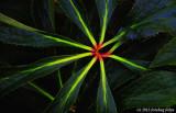 Radiating Leaves