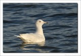 Grote Burgemeester    -    Glaucous Gull