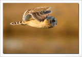 Velduil - Short-eared Owl    2013