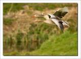 Grauwe Gans    -    Greylag Goose