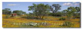Longhorns in Texas wildflowers