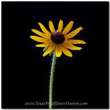 Texas Wildflower s- Maximilian Sunflower 1